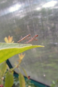 mantis crop 2