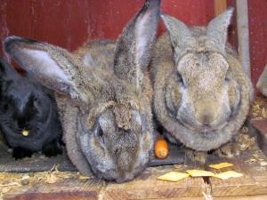 bunny snax