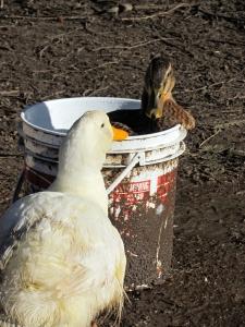 duck bucket