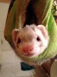 ferret bath
