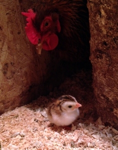 guinea chick