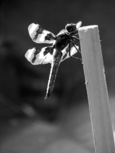 bw dragonfly