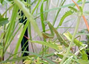 Jasmine 2 crop