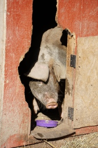 free pig