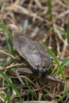 water bug crop