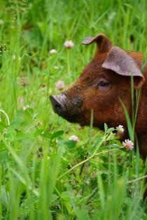 clover pig