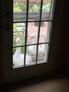 rampaging geese