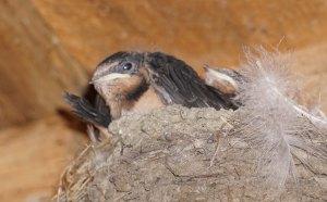 vexed swallow